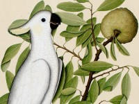 Lady Impey's Indian Bird Paintings