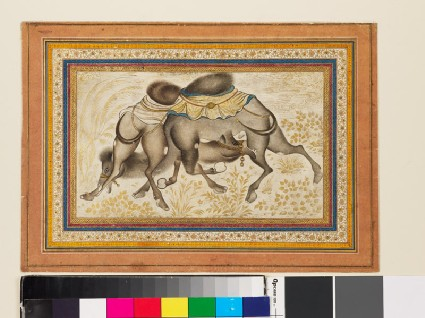 Page from a dispersed muraqqa', or album, depicting two camels fightingfront