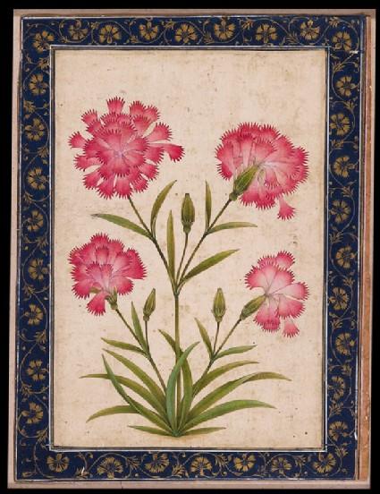 Botanical study of a carnationfront