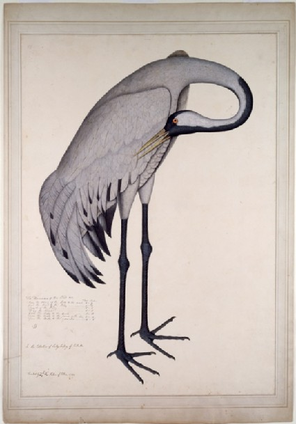 Common Crane (Grus grus)front