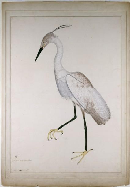 Little Egret in breeding plumage (Egretta garzetta)front
