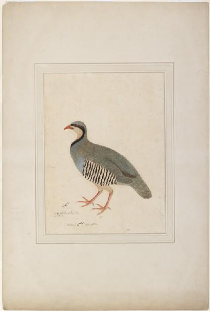 Chukor Partridge (Alectoris chukar)front
