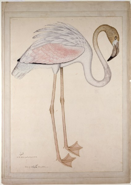 Greater Flamingo (Phoenicopteros ruber)front