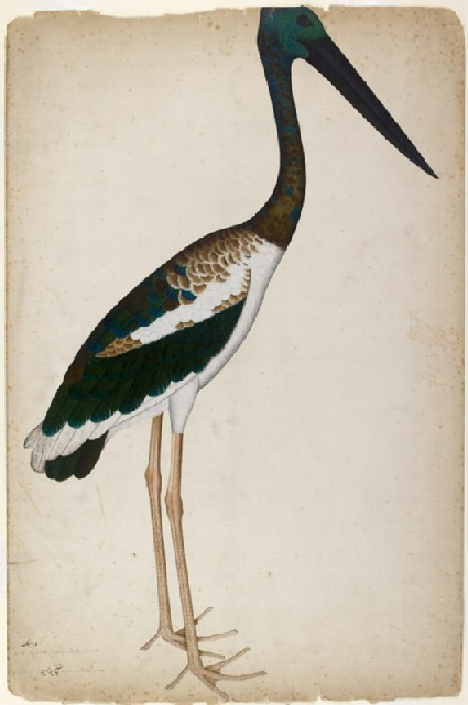 Black-necked Stork (Xenorhynchus asiaticus)front