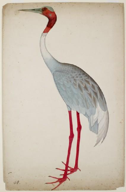 Sarus Crane (Grus antigone)front