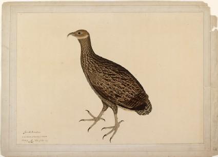 Female Monal, or Impeyan Pheasant (Lophophorus impejanus)front