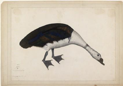 Male Nukta, or Comb Duck (Sarkidornis melanotus)front