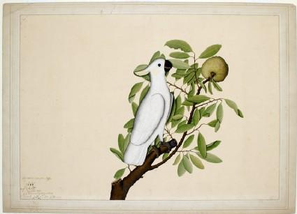 Sulphur-crested cockatoo (Cacatua galerita) on a custard apple branch (Annona reticulata)front