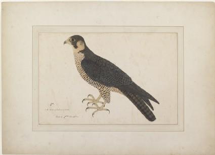 Peregrine (Shahin) Falcon (Falco peregrinus)front