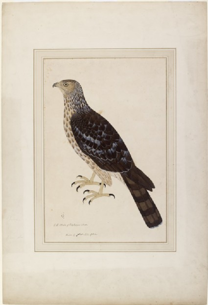Crested Honey Buzzard (Pernis ptilorhynchus)front