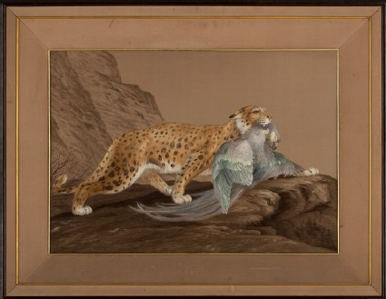 Ocelot carrying a dead macaw in a rocky landscapefront, Cat. No. 31